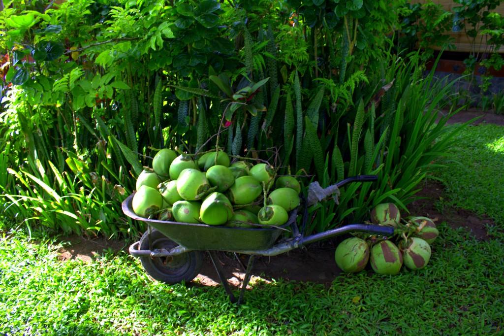 Grüne Kokusnüsse