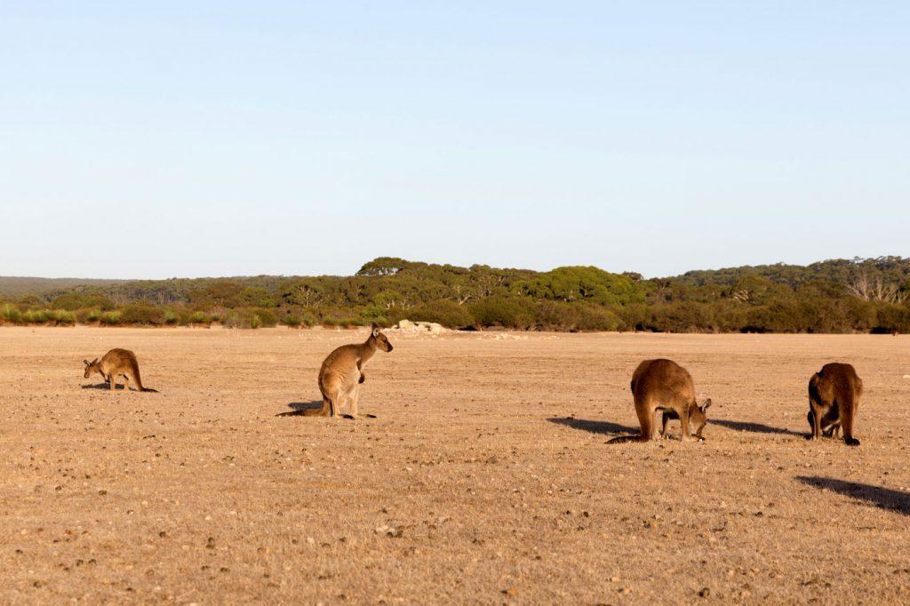 australien-bloggertipps-tasmanien-tasmanien-tasmanien-kaengurus