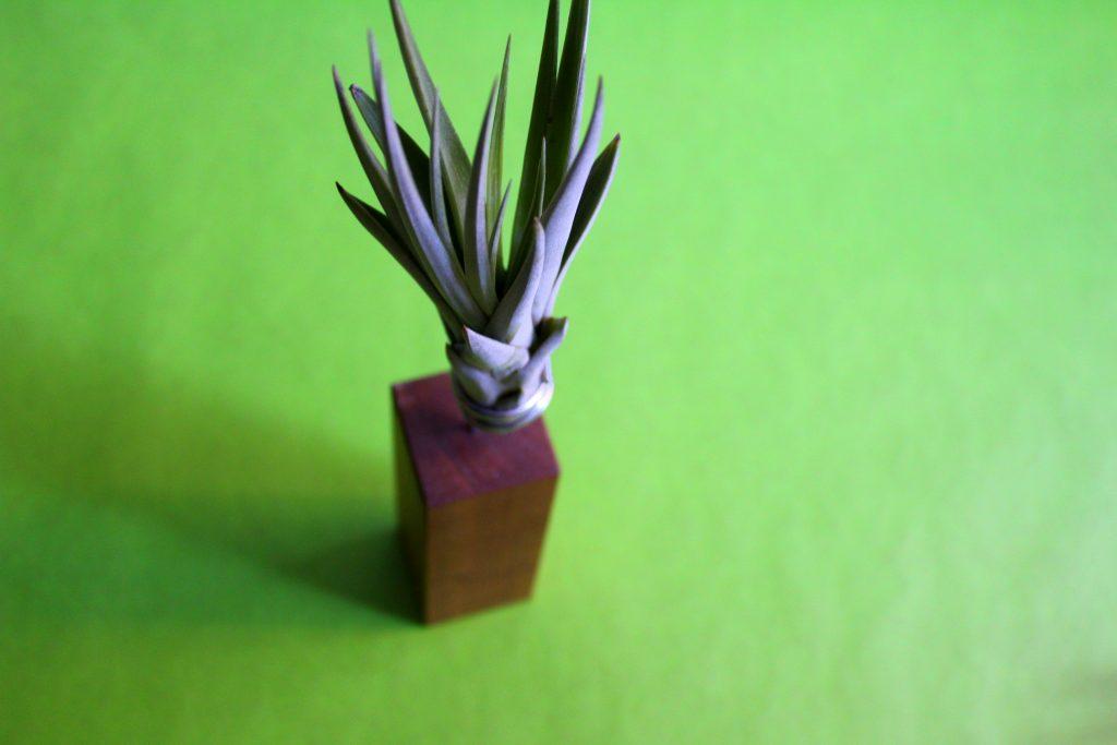Evergreen Luftpflanze