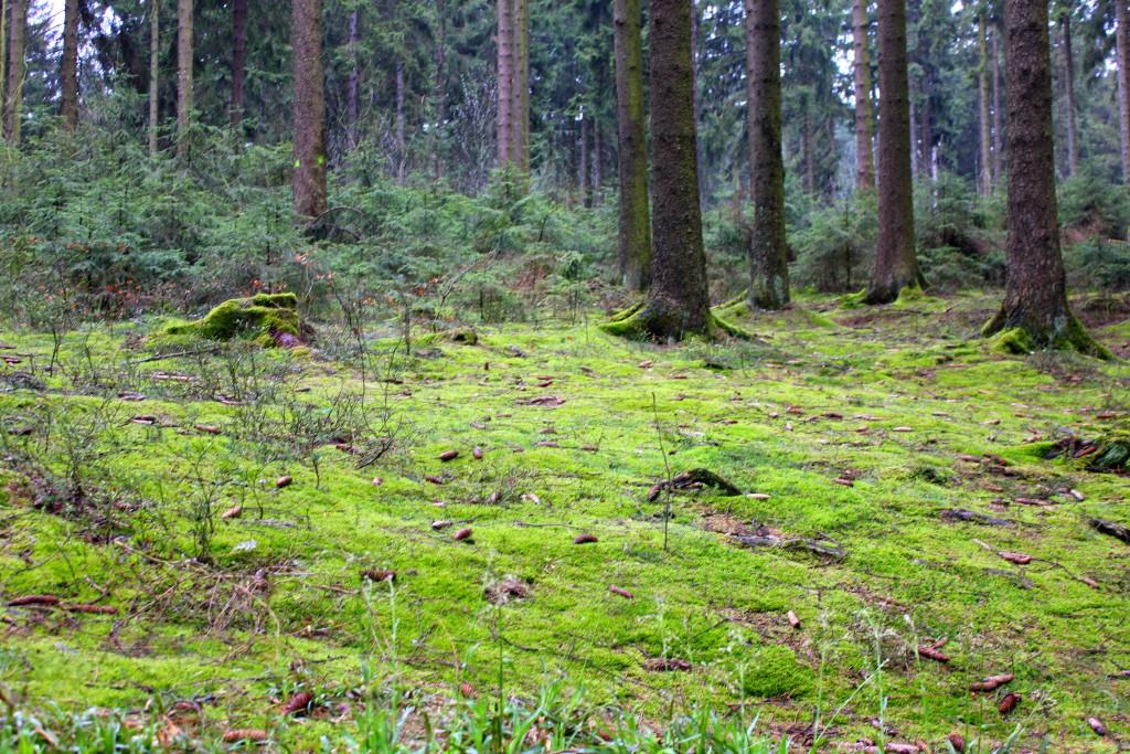 Eifel Wald2
