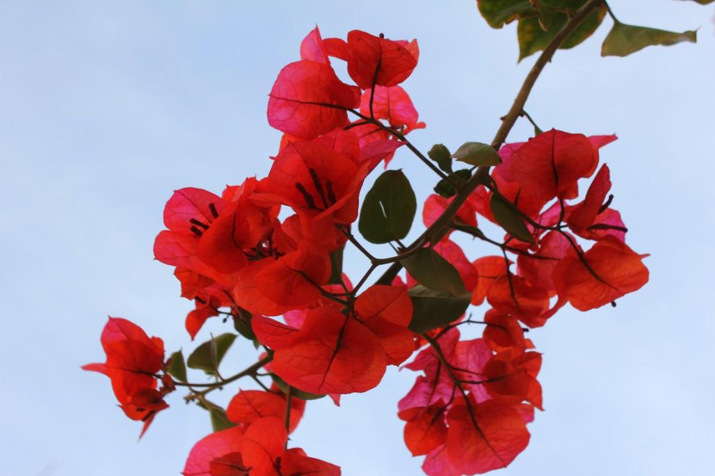 Lissabon Blume