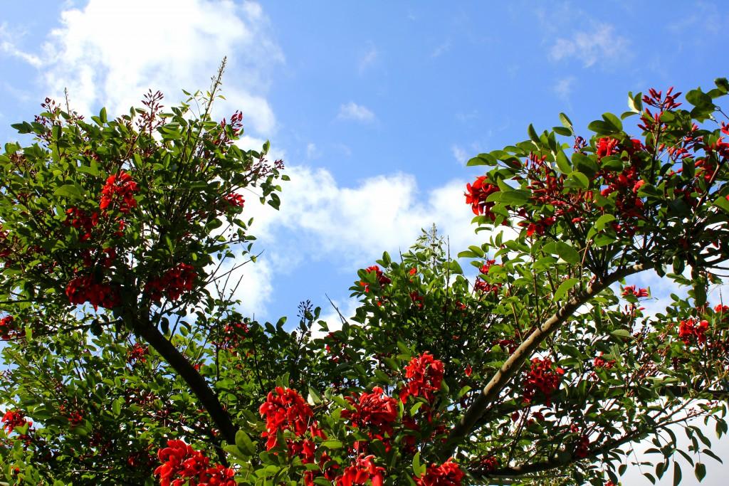 Lissbon rote Blüten