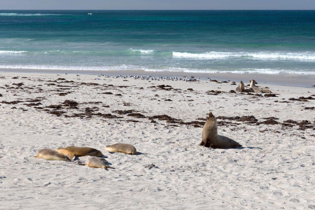australien-bloggertipps-tasmanien-tasmanien-tasmanien-sealbay