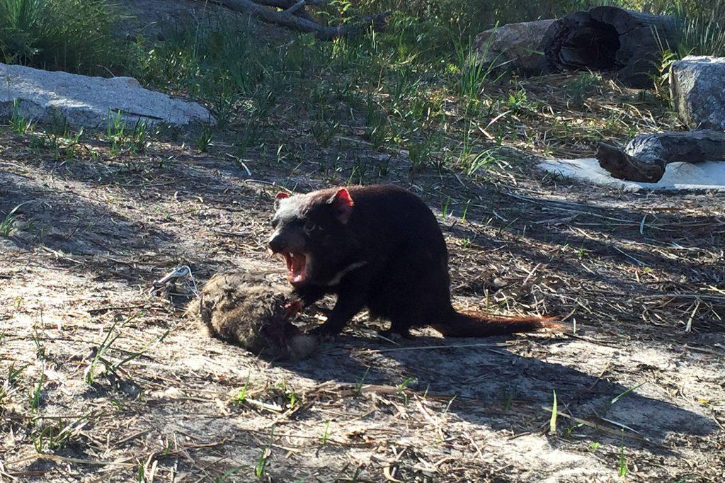 australien-bloggertipps-tasmanien-tasmanien-tasmanischerteufel