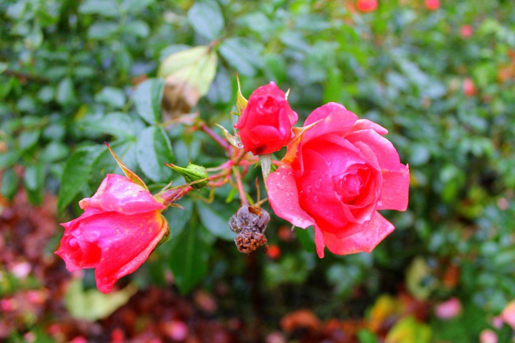 Rose Föhr