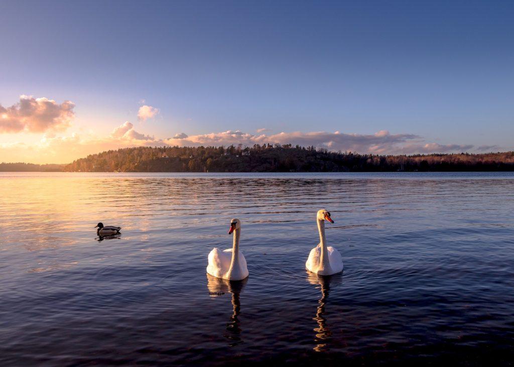 Sonnenuntergang mit zwei Schwänen im Schwedenurlaub